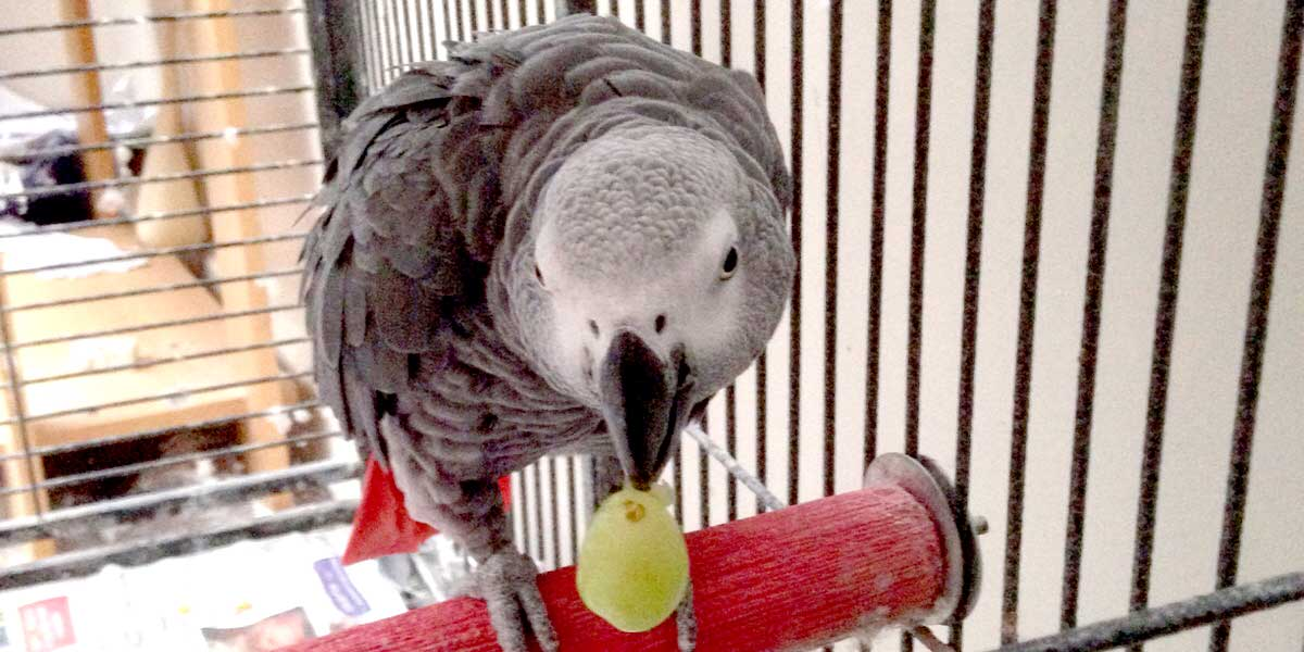 Animal Transport - Alfi, Grey Parrot