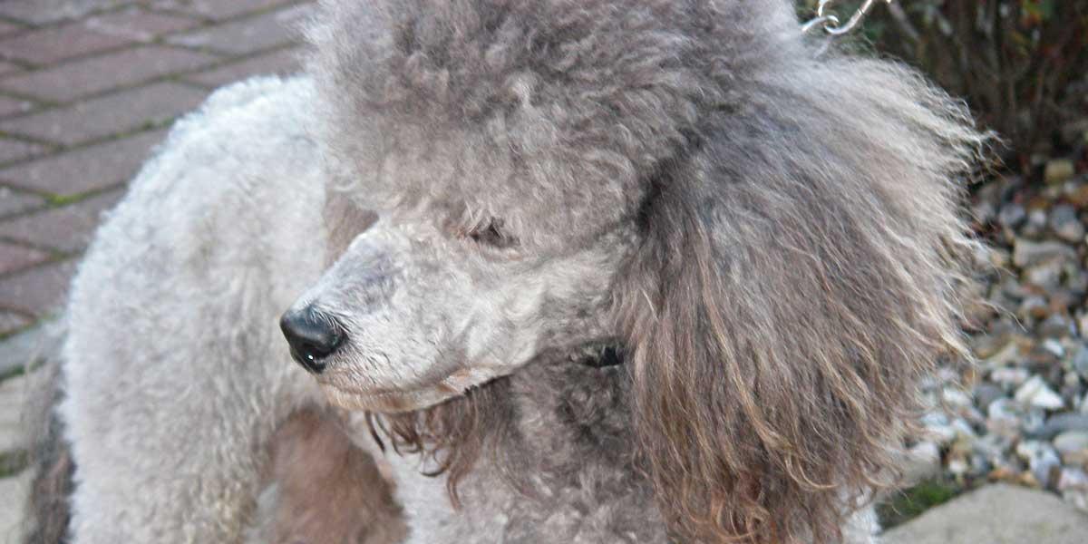 Pet Courier Service, Prince - Toy Poodle